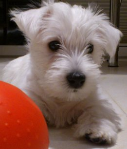 West Highland White Terrier-Just a Surprise-Westie Welpe