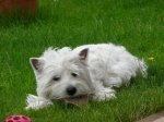 Westie Live JUST A SURPRISE Westies - Alisha - Bilder Galerie