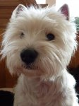 Westie Live JUST A SURPRISE Westies - Jamilah - Bilder Galerie